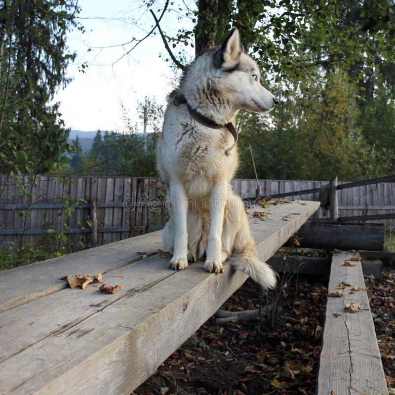 一条良种狗坐在街道上的一条木标志横线并且调查距离 免版税库存图片