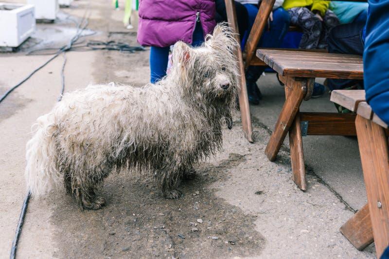一条被放弃的或失去的狗请求从人的食物 不快乐的流浪狗 在街道上的湿,肮脏的白色狗 ?? 图库摄影