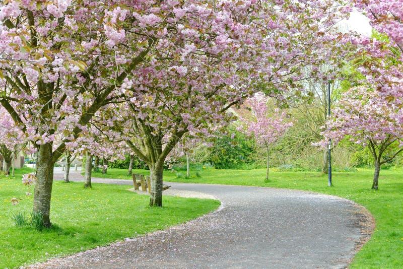 一条路通过樱花 库存照片