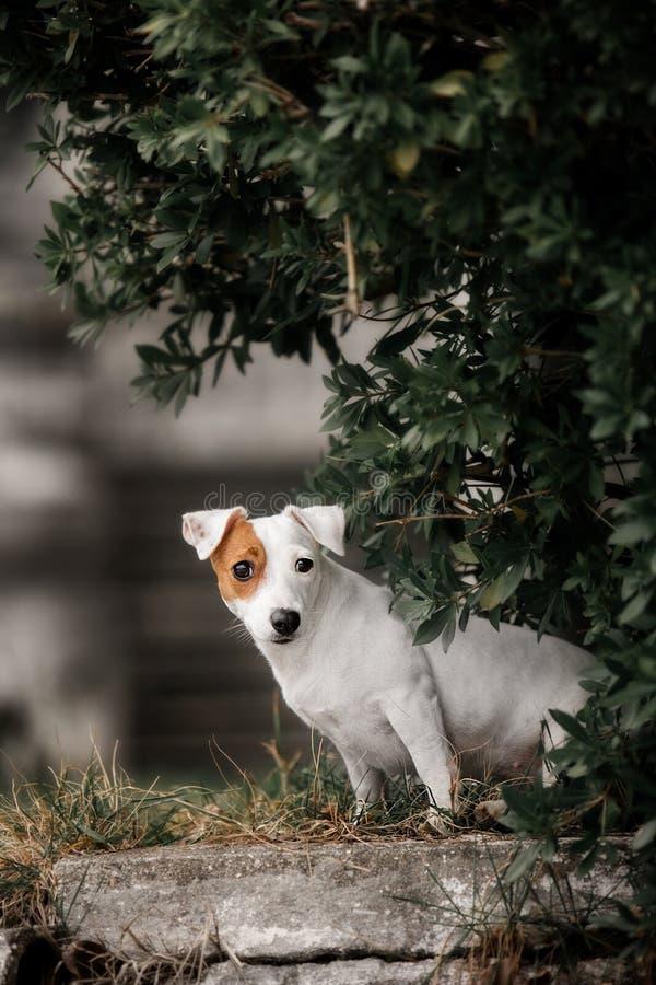 一条逗人喜爱的光滑羊毛起重器罗素狗的画象 免版税库存照片