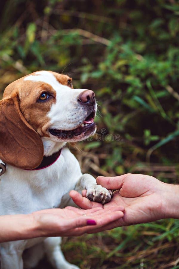 一条逗人喜爱的小猎犬狗给一个爪子 库存照片