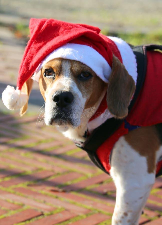 一条逗人喜爱的狗的面孔与长的耳朵的有圣诞老人帽子的  库存图片