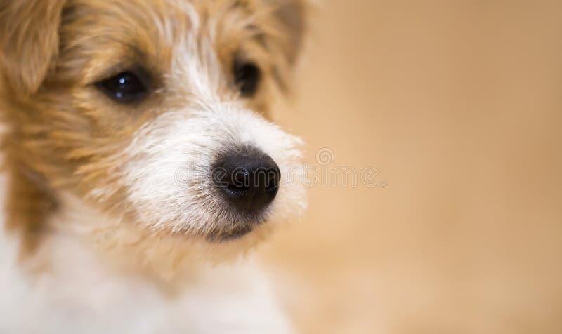 一条逗人喜爱的起重器罗素爱犬的鼻子 图库摄影