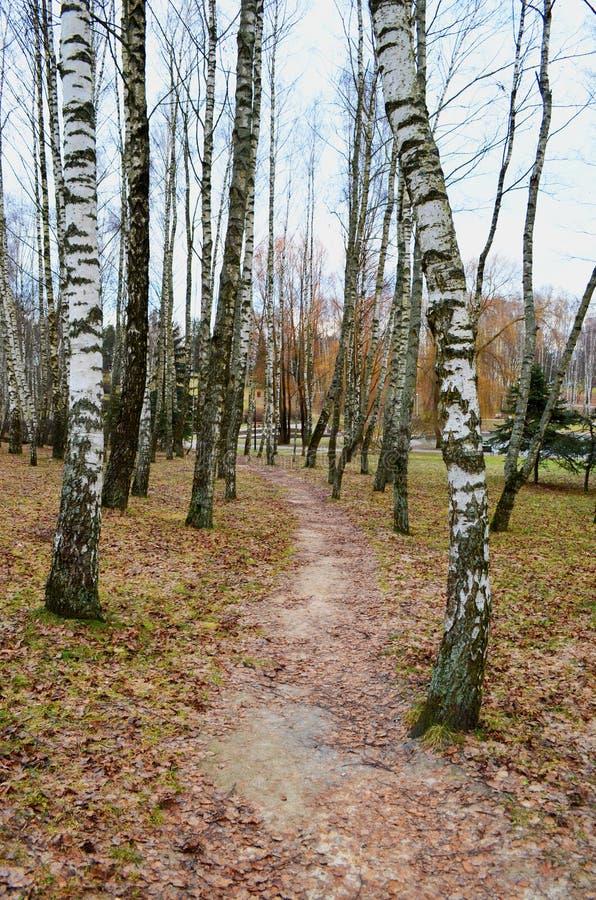 一条道路在桦树中的秋天公园 免版税图库摄影