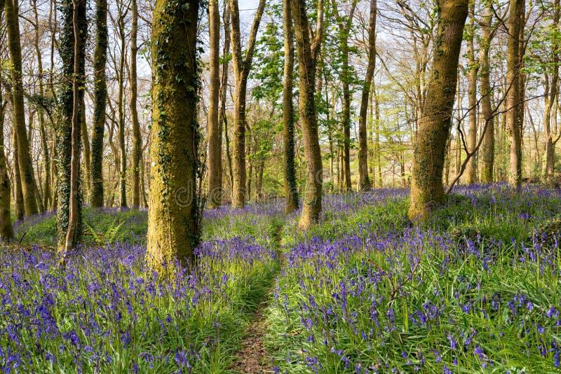 一条道路穿过会开蓝色钟形花的草森林 库存图片