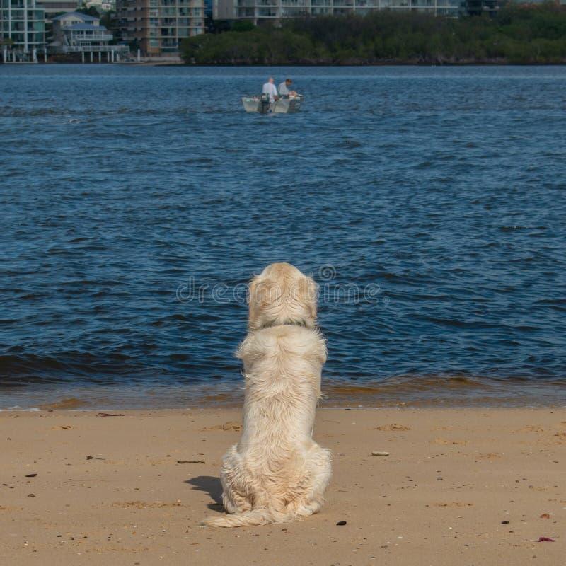 一条金毛猎犬小狗看渔夫 免版税库存照片