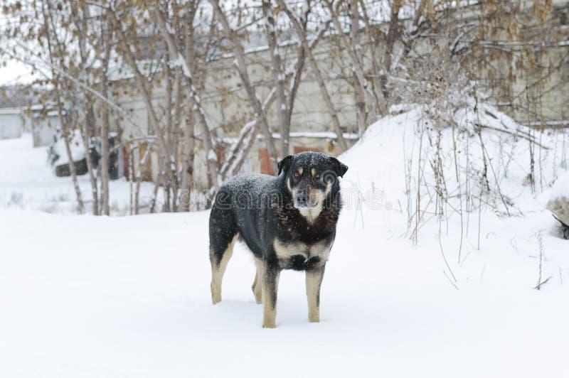 一条非家谱离群哀伤的狗在雪的冬天站立外面 免版税图库摄影