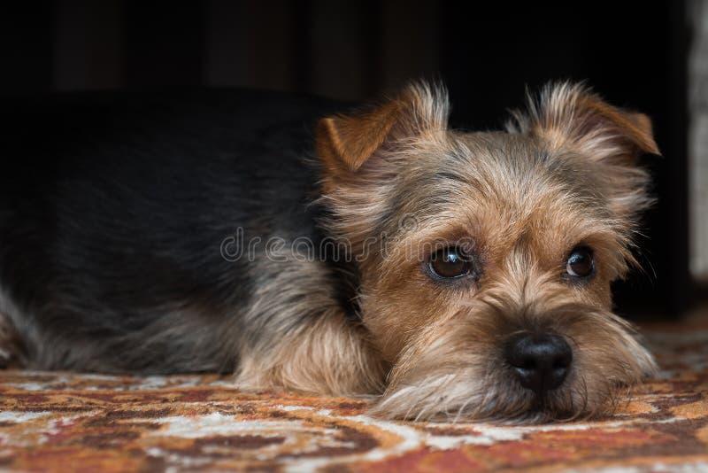一条非常哀伤的狗看,如他认为他的女孩,非常很远是 免版税库存照片