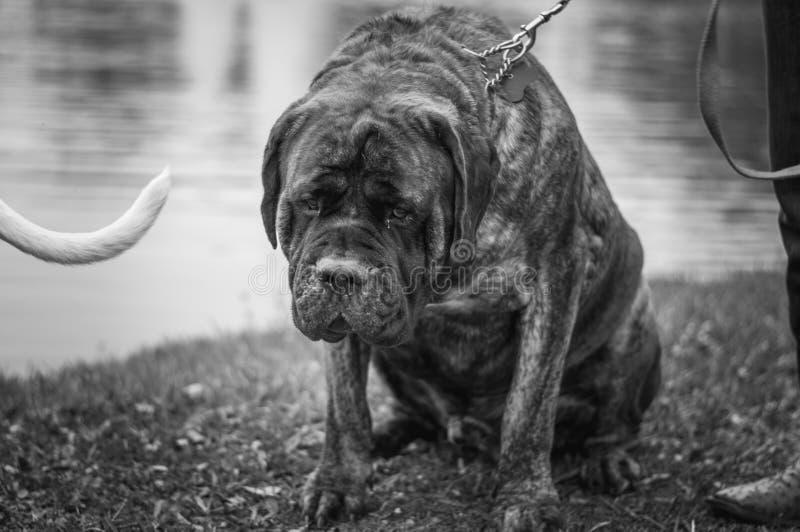 一条非常大狗 库存照片