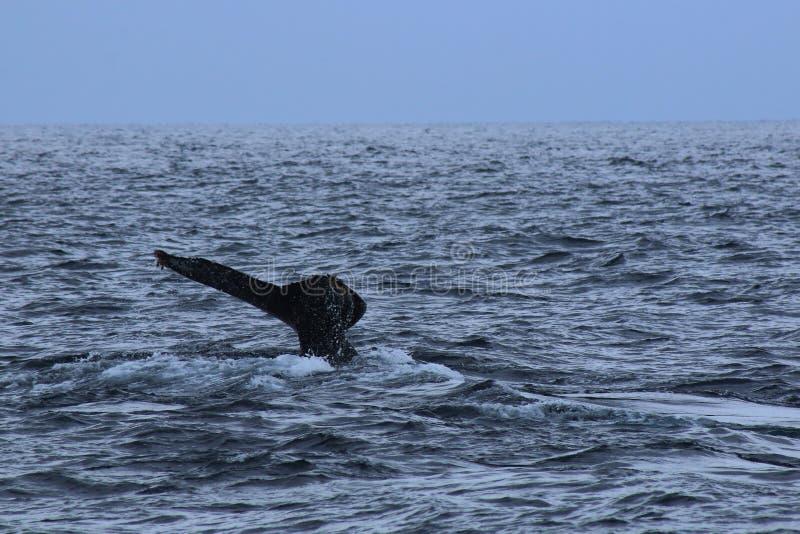 一条驼背鲸的一条lonenly尾巴在大海洋,Megaptera novaeangliae 免版税图库摄影