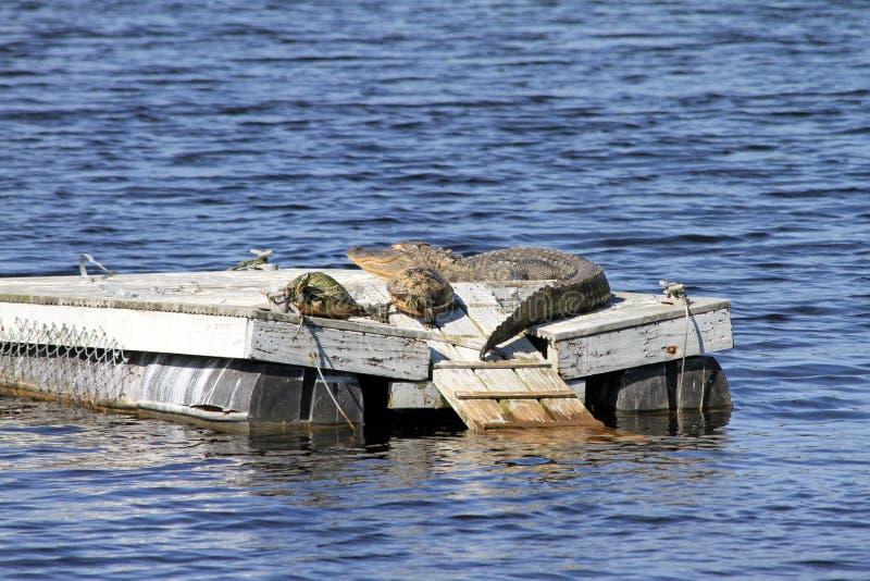 一条鳄鱼和两只乌龟在木筏 库存照片