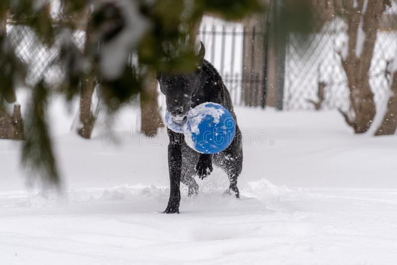 一条黑拉布拉多猎犬狗使用与在雪的一个蓝色球 故意弄脏前景松树 库存图片