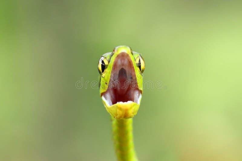 一条绿色鹦鹉蛇准备在哥斯达黎加触击 图库摄影