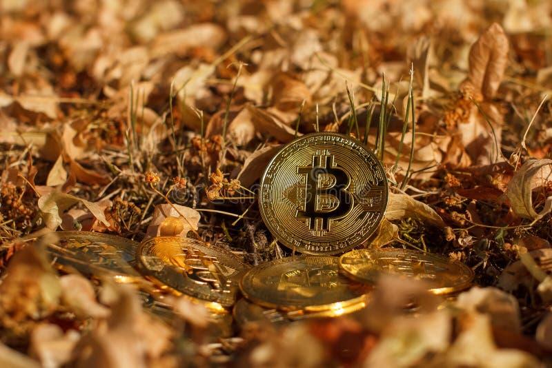 一枚大金黄cryptocurrency bitcoin硬币在黄色叶子在秋天放下 在黄色叶子背景被投入了 免版税图库摄影