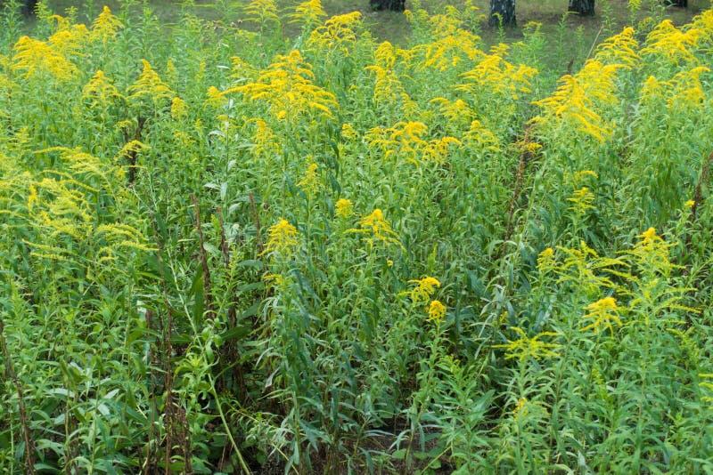 一枝黄花canadensis殖民地在绽放的 免版税库存图片