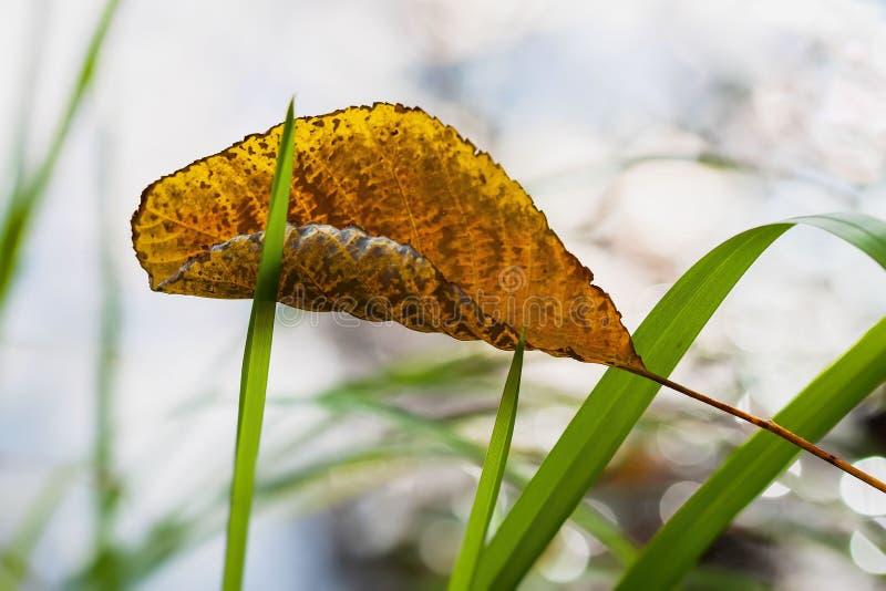 一染黄了一棵树的叶子在秋天草的 秋天的概念来了 库存照片