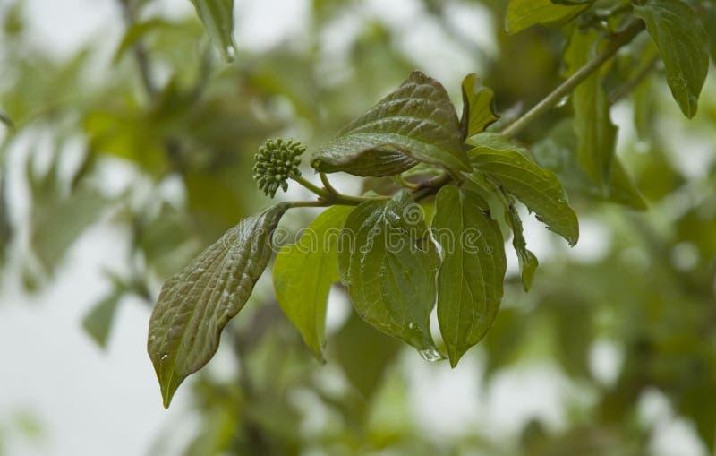 一株山茱萸的枝杈在雨以后的 免版税库存图片