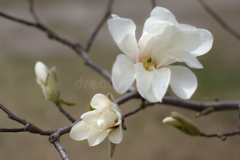 白色木兰 春天花和芽 开花的庭院 免版税图库摄影