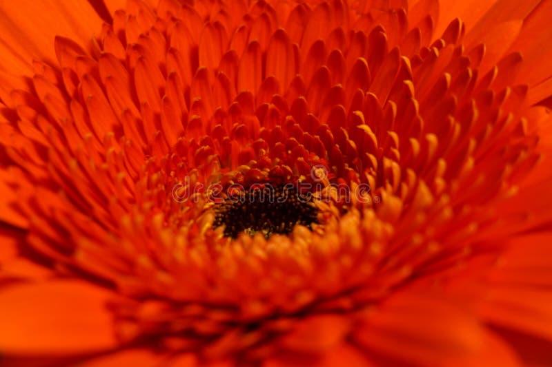 一根明亮的橙色雏菊大丁草的宏观射击 免版税库存照片