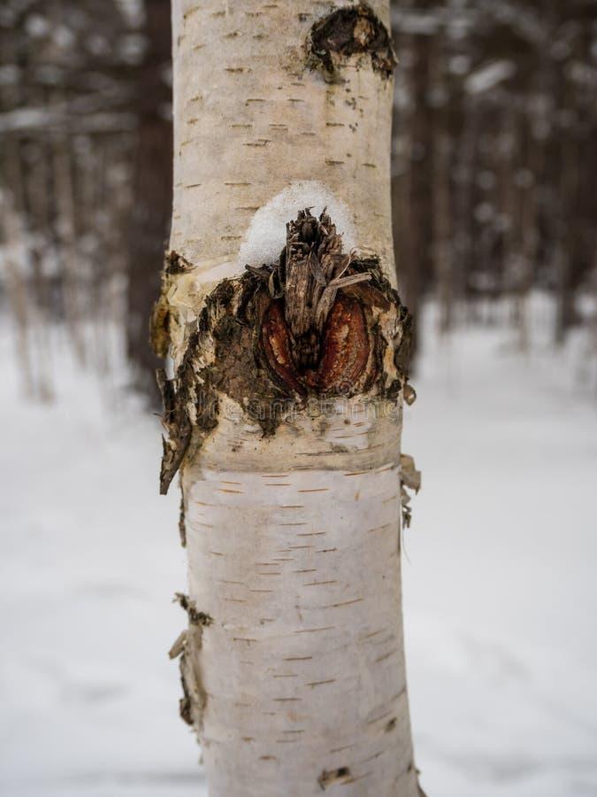 一根桦树树干的奇特看法从一个积雪的冬天森林的在俄罗斯 免版税库存照片