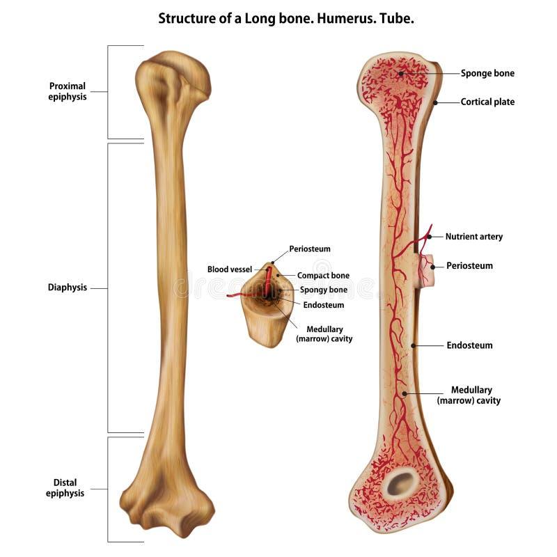 一根长骨的层数 肱骨 管 向量例证