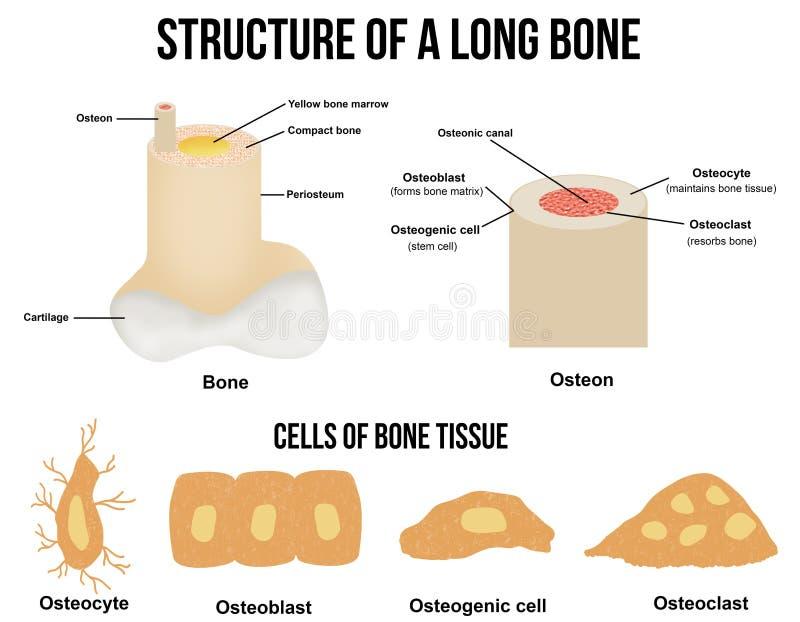 一根长骨的结构 皇族释放例证