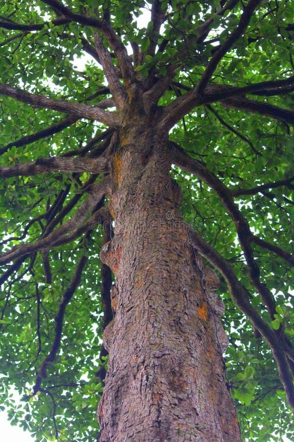 一根高大的树木树干 图库摄影
