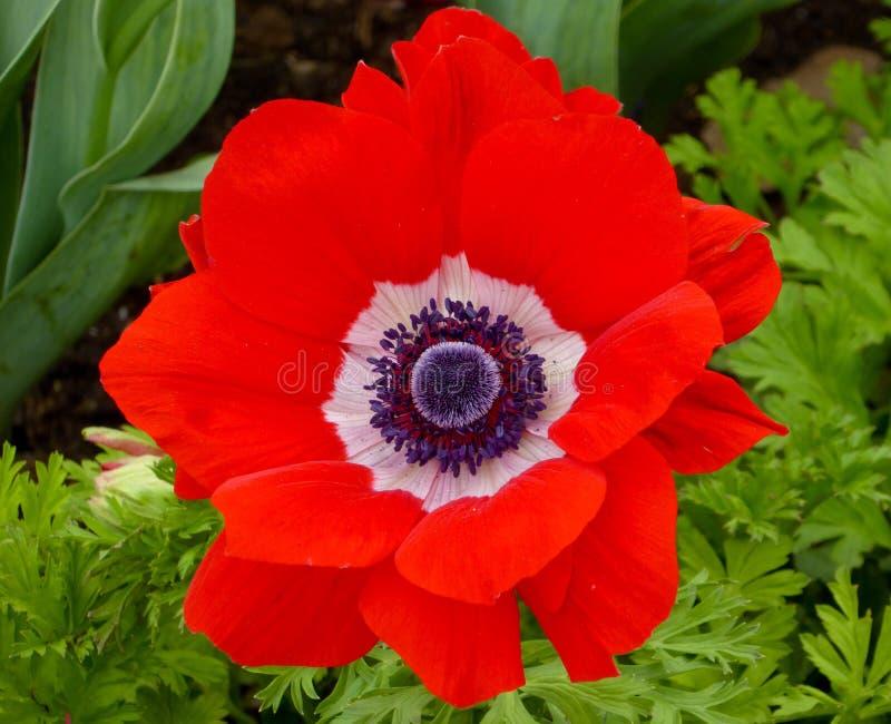 一桃红色和白色银莲花属花开花 库存图片