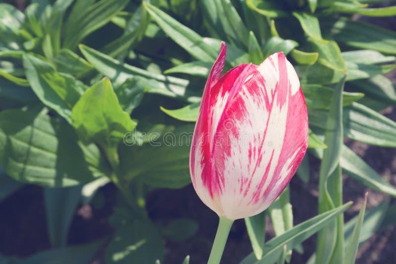 一桃红色郁金香在绿色背景的一好日子 库存照片