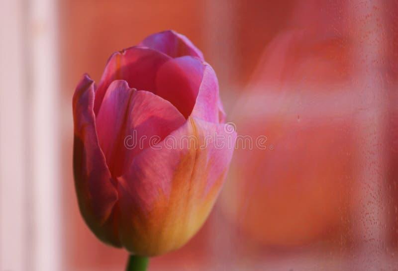 一桃红色郁金香用桔子成脉络特写镜头反对巧克力颜色墙壁瓦片背景  图库摄影