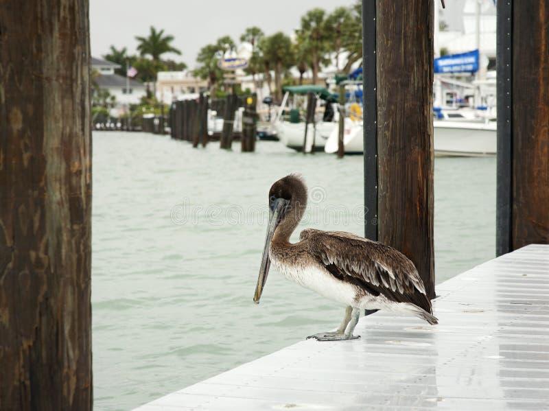 一棕色鹈鹕 佛罗里达,南跳船,墨西哥湾 免版税库存照片