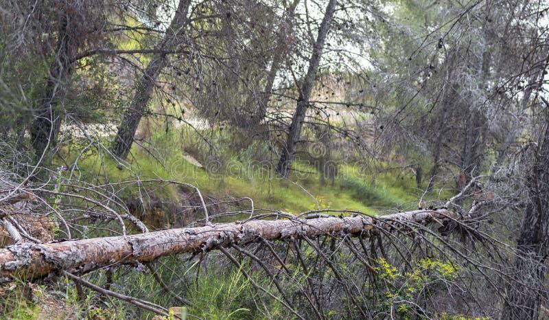 一棵下落的树在一个自然公园的西班牙森林里在穆尔西亚 免版税库存照片