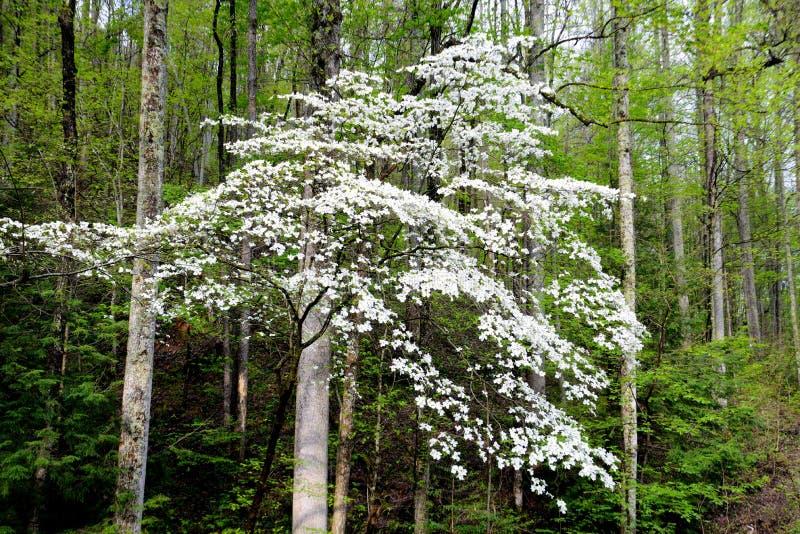 一棵与春天的绿叶的美好的椋木树绽放 免版税库存图片