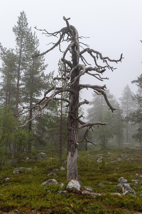 一棵偏僻的干树在有雾的一个具球果森林里 免版税图库摄影