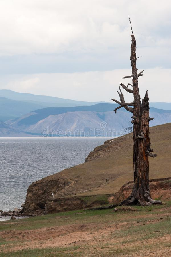 一棵偏僻的老干燥树在湖岸站立  r 免版税库存图片