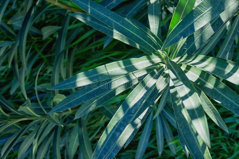 一棵健康植物的深绿叶子有被加锯齿的叶子的 Gr 库存图片
