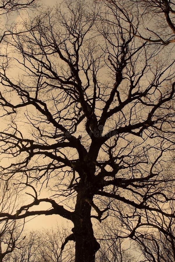一棵光秃的树的剪影 库存照片