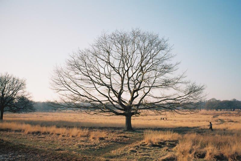 一棵光秃的树的美丽的射击在一个领域的与使清楚的天空蔚蓝惊奇 库存照片