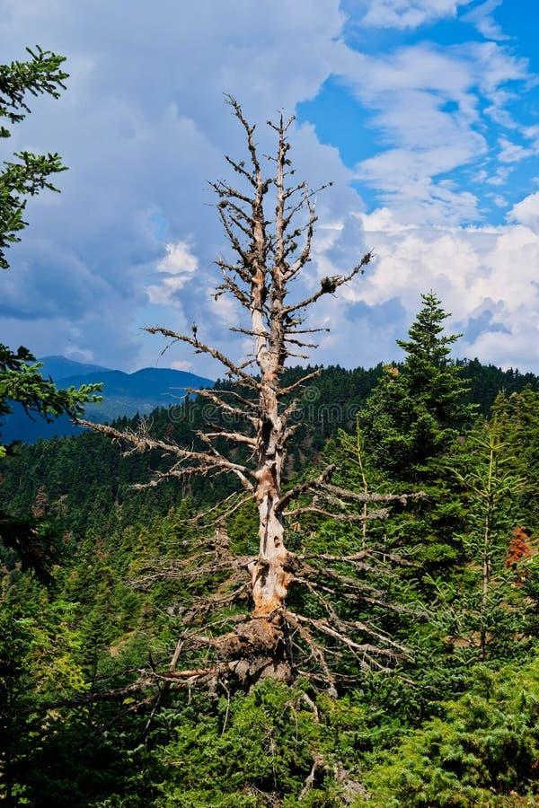 一棵光秃的死的树在杉木森林,希腊里 图库摄影