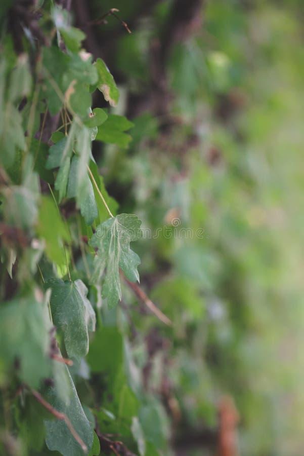 一棵分蘖性植物的分支有叶子的 库存图片