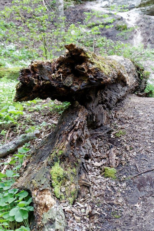 一棵分解的树在森林里 库存图片