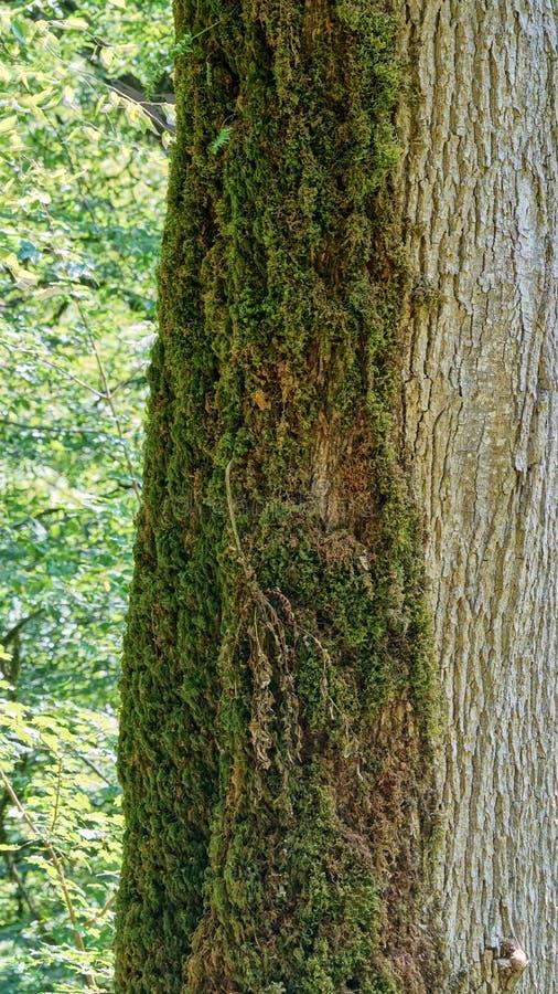 一棵半长得太大的青苔树,赤柏松黄杨木潜叶虫树丛在索契 库存照片