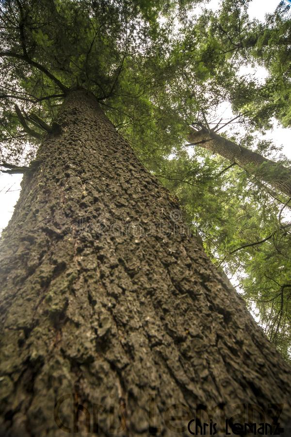 一棵古老树的树干的吠声的纹理 免版税库存照片