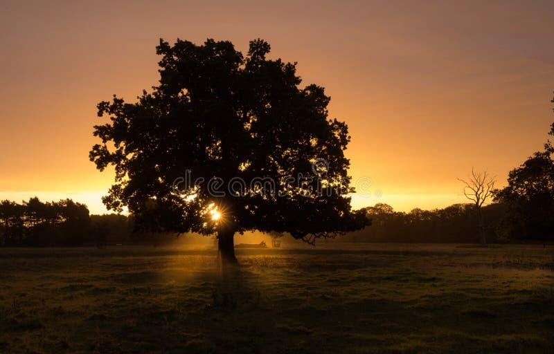 一棵唯一树的看法现出轮廓反对金黄日出 库存照片