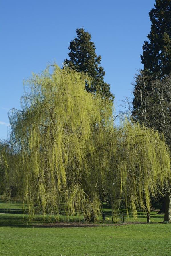 一棵垂柳树在公园。 图库摄影