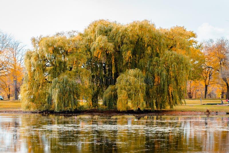 一棵垂柳树的风景在秋天期间的由池塘在河沿公园在大瀑布城密执安 免版税库存照片