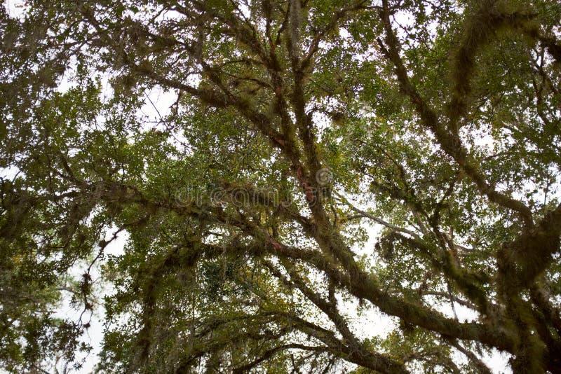 一棵大树的分支低角度视图在夏天 库存照片