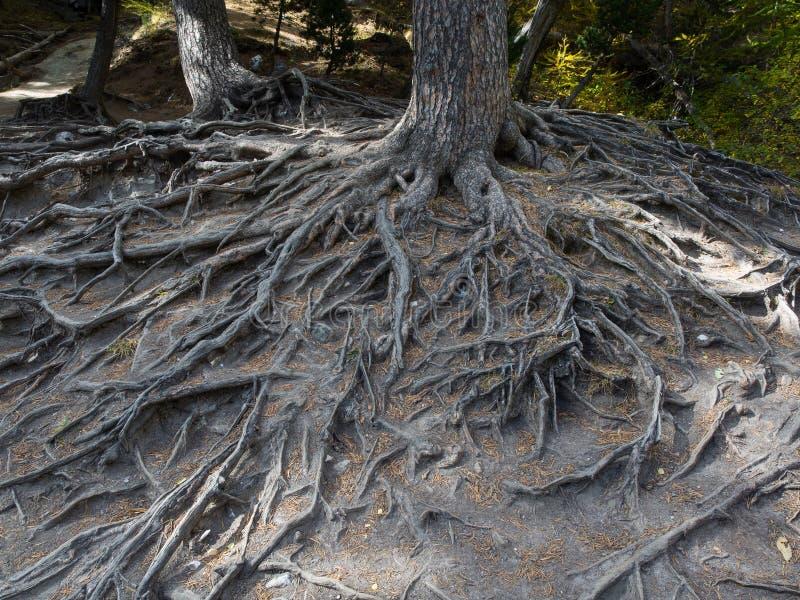 一棵大树的庄严根暴露了由于土壤侵蚀 库存照片
