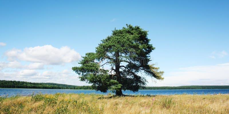 一棵孤立杉树沿湖岸站立 库存图片