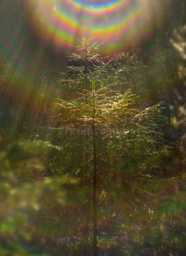 一棵小圣诞树在森林里发光在阳光下 免版税库存照片